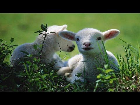 Curso Criação de Ovinos de Corte - Fatores que Afetam o Crescimento