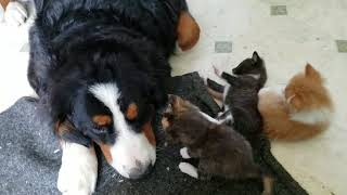 Bernese Mountain Dog plays with kittens