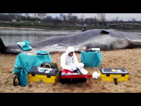 Wieloryb Kaszalot Na Plaży W Warszawie Przy Moście Poniatowskiego
