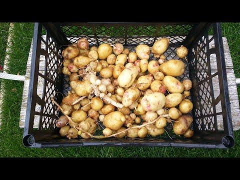 173). Картофель-Суперэлита Картофеля получила из семян. Картошка из рассады (31.08.17)