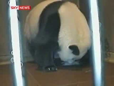 Giant Panda Gives Birth On Camera