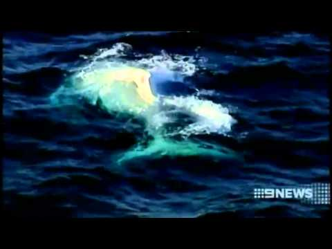 Migaloo the white humpback whale has been spotted off Sydney, Australia