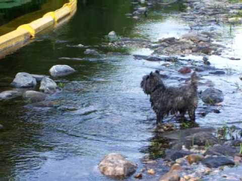 cairn terrier puppies. cairn terrier puppy playing