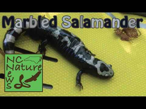 Marbled Salamander | NC Nature News