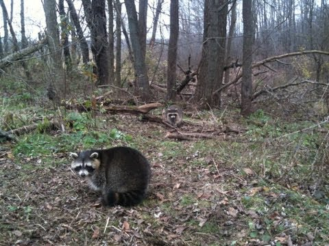 Ohio Coon Line: First Checks with Ohio Outdoor Journal