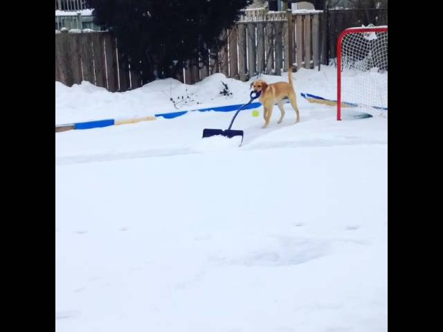 Elsa shoveling the hockey rink.