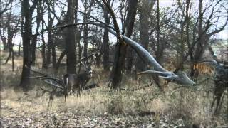 Big 8 Point Whitetail Buck Rams Primos Scar Decoy