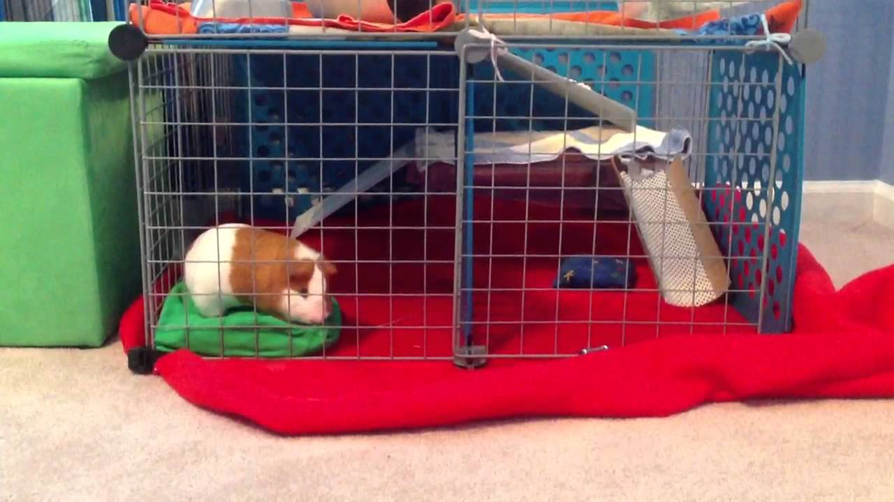 My friend 39 s awesome guinea pig 39 s c and c cage youtube for Where to get c c cages
