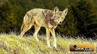Coyotes and Prepping