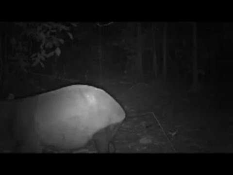 Camera Trap - Malayan Tapir  - Feb2013
