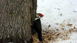 Woodpecker pecking