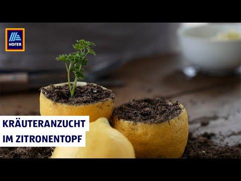 Hofer Gartenwelt - Kräuteranzucht Im Zitronentopf
