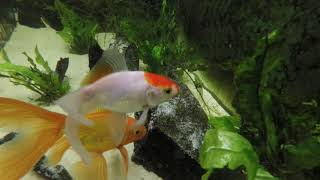 Underwater video of Goldfish tank