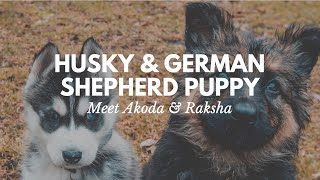 Husky & German Shepherd Puppy | Meet Akoda & Raksha