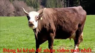 video về con bò và tiếng kiêu của chúng bài hát thiếu nhi vui nhộn|minh anh tv