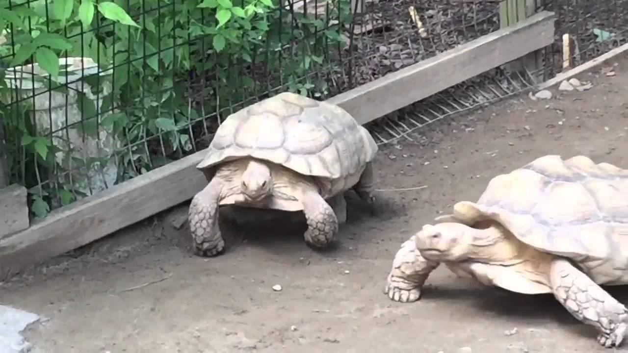 Megmentette megfeneklett társát a teknős - videó