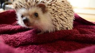 HEDGEHOG a short pet film in HD