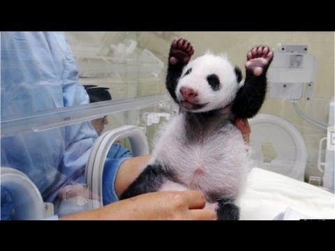 Tierno momento en que madre panda ve por primera vez a su pandita
