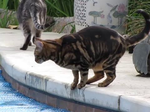 Bengal Cat wants to Walk on Water