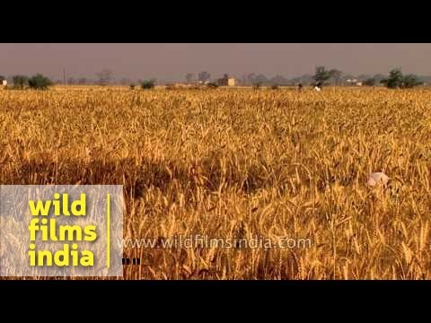 Wheat cultivation in India