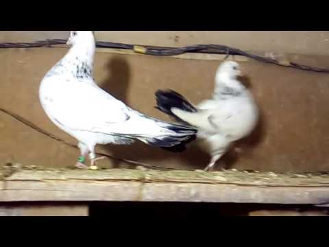 Голуби в голубятни