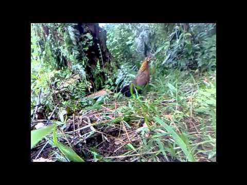 Ayam Hutan Pikat Betina 27 video