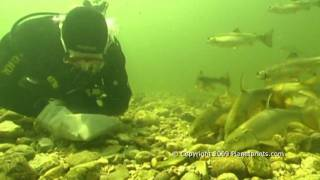 Feeding Barbel & Trout Underwater by Hand !