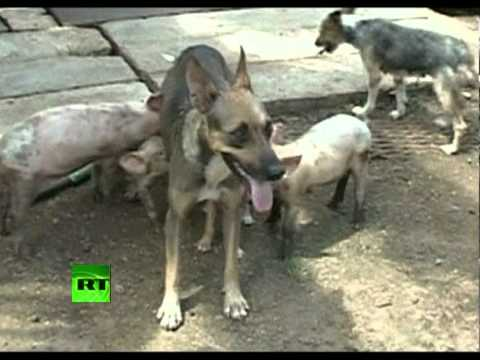 Cuban canine's mothering sty-le: Pigs turn to pooch for parenting