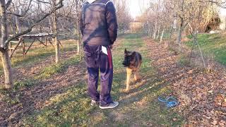 German Shepherd ( GSD ) -  Basic training