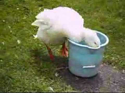 Cute Duck Video