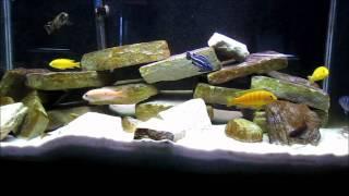 Species Info: Mbuna Cichlids