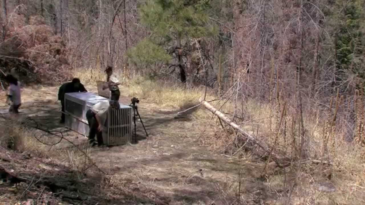 Mexican Wolf Release 4 9 2014 Raw Video Youtube