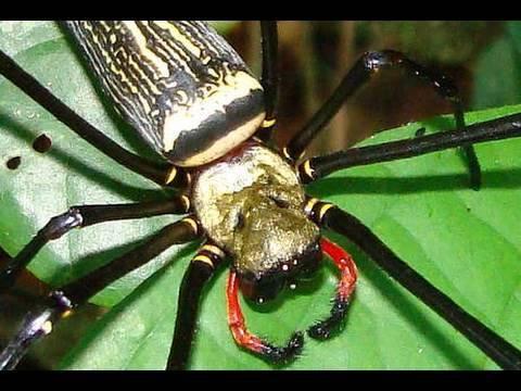 Large Spider Thailand!