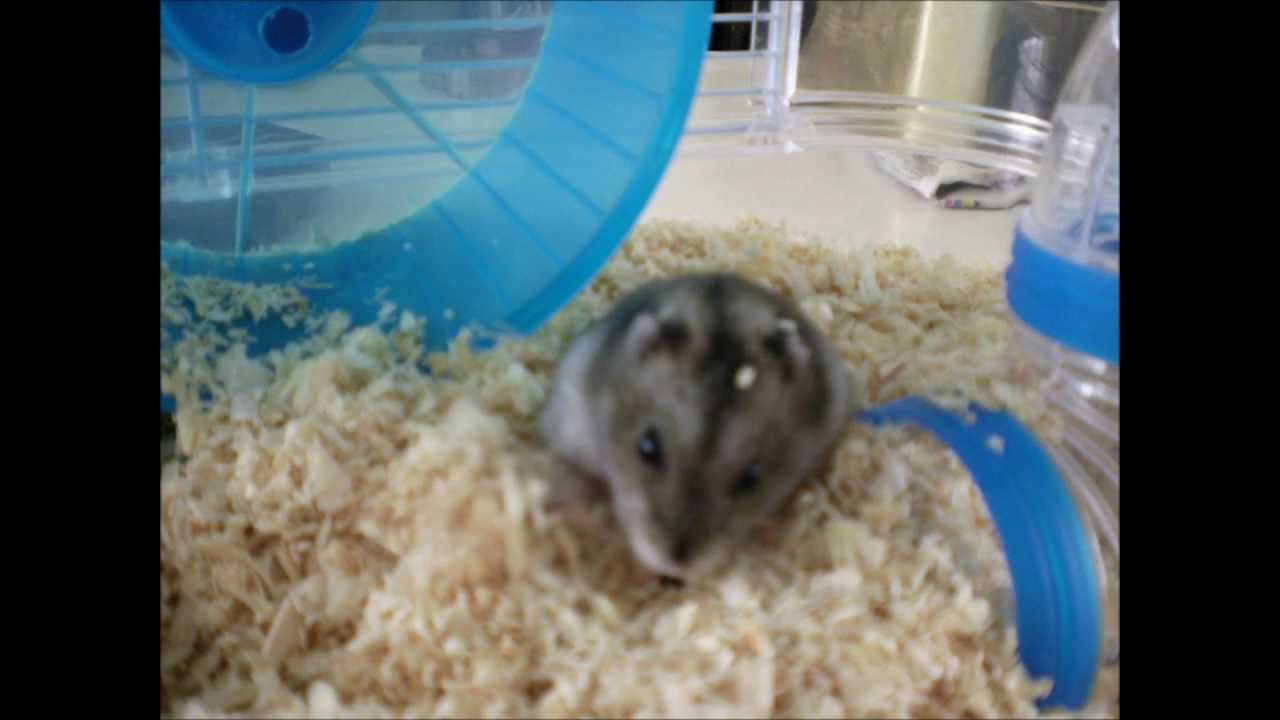 hamster russe youtube