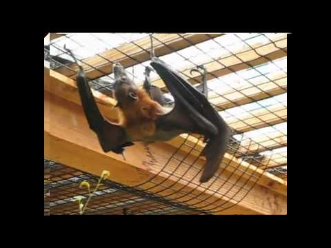 Flying Fox - The Human Size Bat (Pteropus)