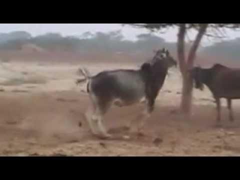 Танцующие коровы Вриндавана