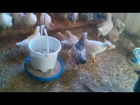 Перевод цыплят из брудера в сарай.