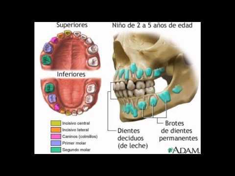 El Diente, Anatomia, Función, cuidados...wmv
