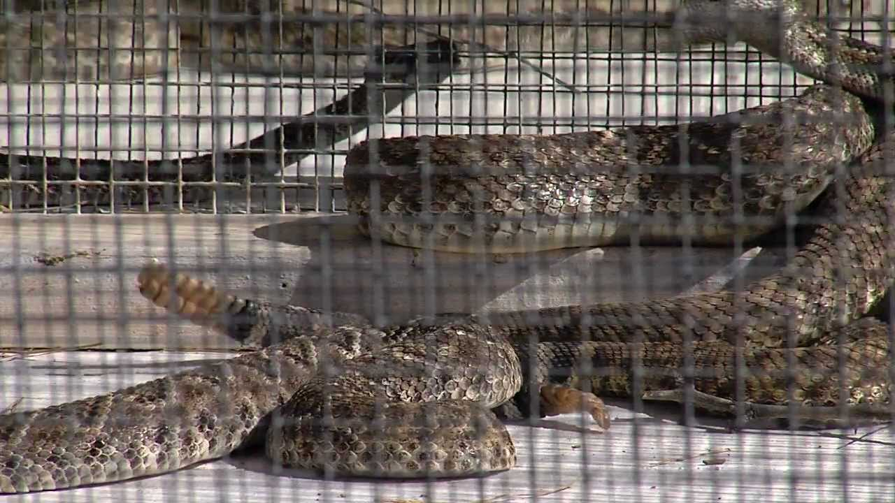 Rattlesnake Roundup Oklahoma Rattlesnake Roundup