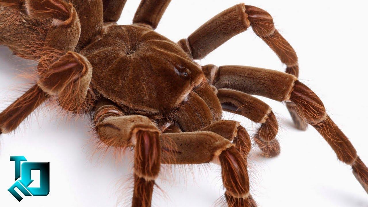 Fotos de aranhas marrom 68