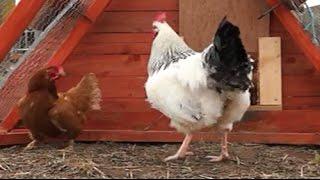 download lagu What Happened When We Put Cockerels In  Hens? gratis