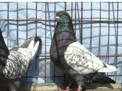 As mais lindas e exóticas raças de pombos [parte 2]. The amazing pigeon breed [part 2].
