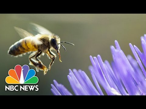 America's Declining Honeybee Population | 101 | NBC News