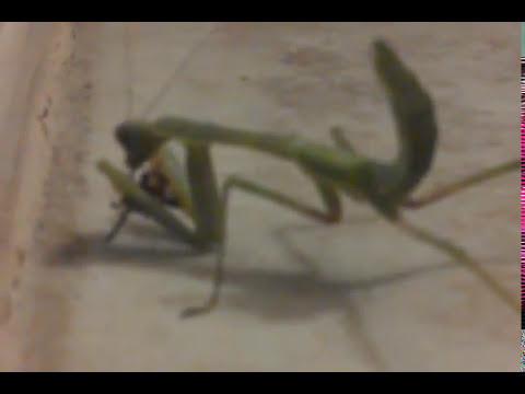 Praying Mantis attacks spider for dinner