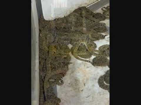 Rattlesnake Roundup Sweetwater tx Sweetwater tx Rattlesnake