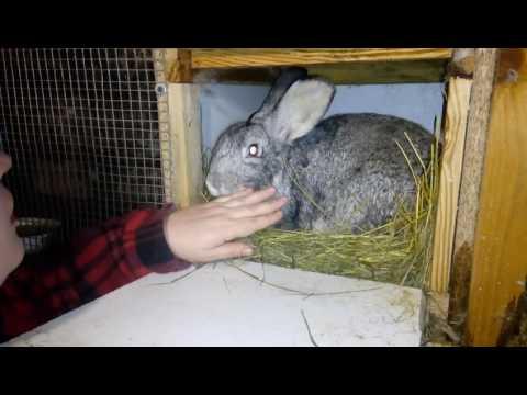 Мой опыт, выращивание  кролей без сена и прививок .