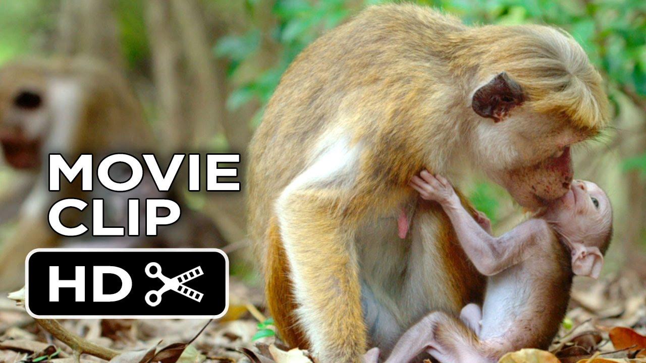 Monkey Kingdom Baby Monkey Monkey Kingdom Movie Clip