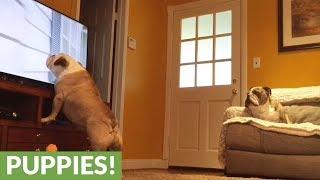 Hidden camera captures two bulldogs interacting with TV program
