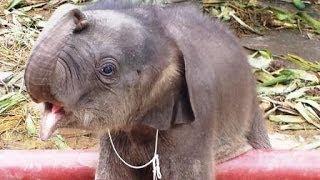 象の赤ちゃん Naughty baby elephant in Bangkok-Thailand