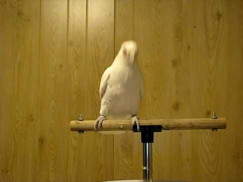 Thumb La cacatúa blanca Frostie bailando Shake Your Tail Feather!